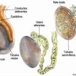 Epididimitis, infección del epídidimo